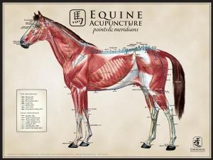AcuPoster_Equine_LargeLat
