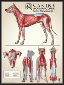 Acuposter_Canine_MuscleMulti