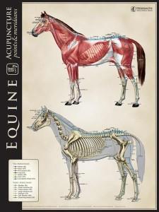 Acuposter_Equine_bonemuscle